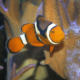 Clown Anemonenfisch