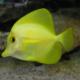 hawaii-doktorfisch-zebrasoma-flavescens