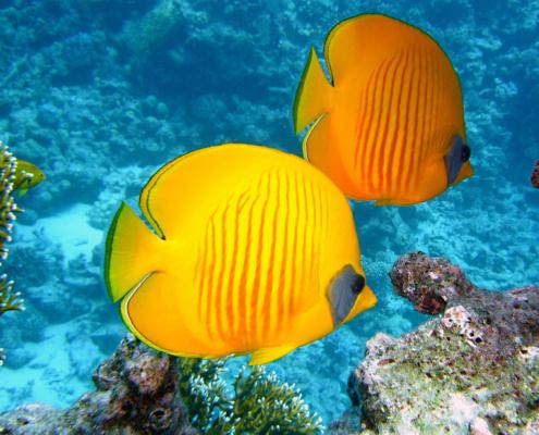 lemon butterfly-fish